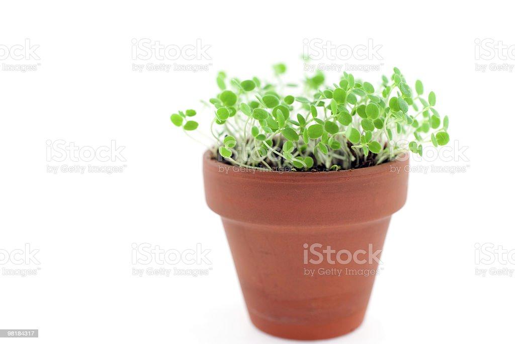 Verde Germoglio in crescita da terra. Isolato su bianco foto stock royalty-free