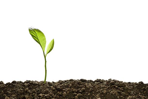 從白色背景上孤立的土壤中生長出來的綠色芽 - 幼苗 個照片及圖片檔