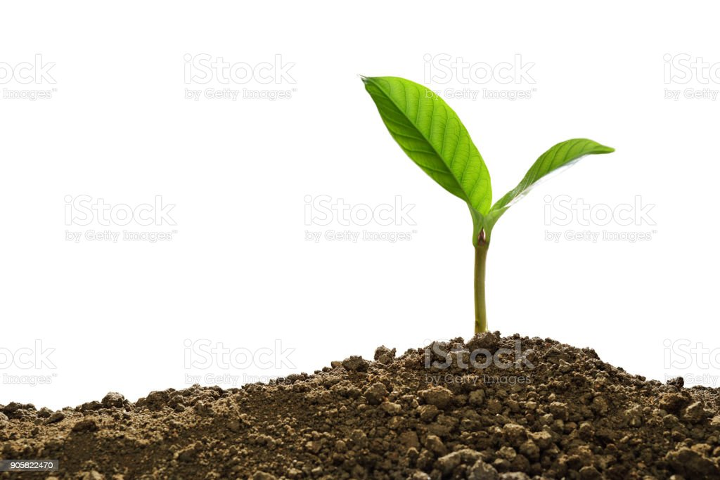 Green sprout growing out from soil isolated on white background - fotografia de stock