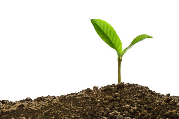 Green sprout growing out from soil isolated on white background stock photo