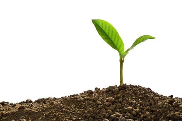 白色背景土壤隔離生長的綠芽 - 耕種環境 個照片及圖片檔