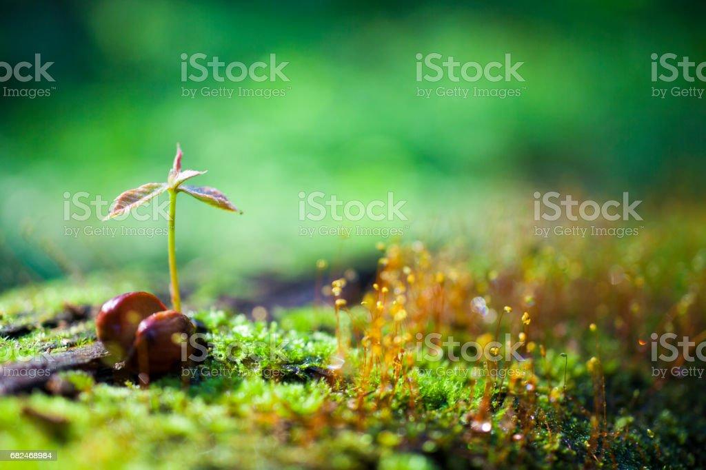 El cultivo de germen verde foto de stock libre de derechos