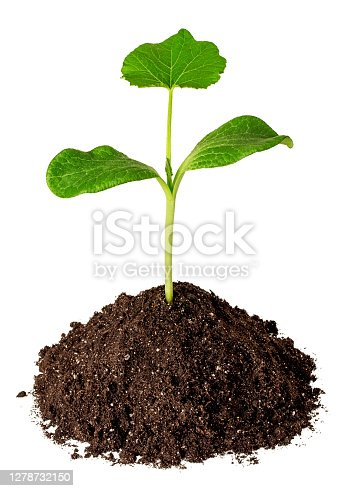 istock Green sprout in the dirt isolated on white 1278732150