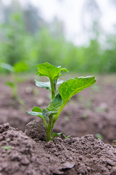 Green sprout of potato stock photo