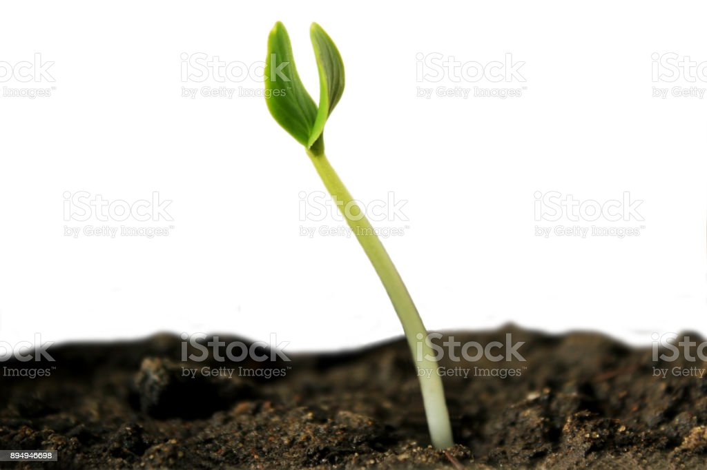 Green sprout. stock photo