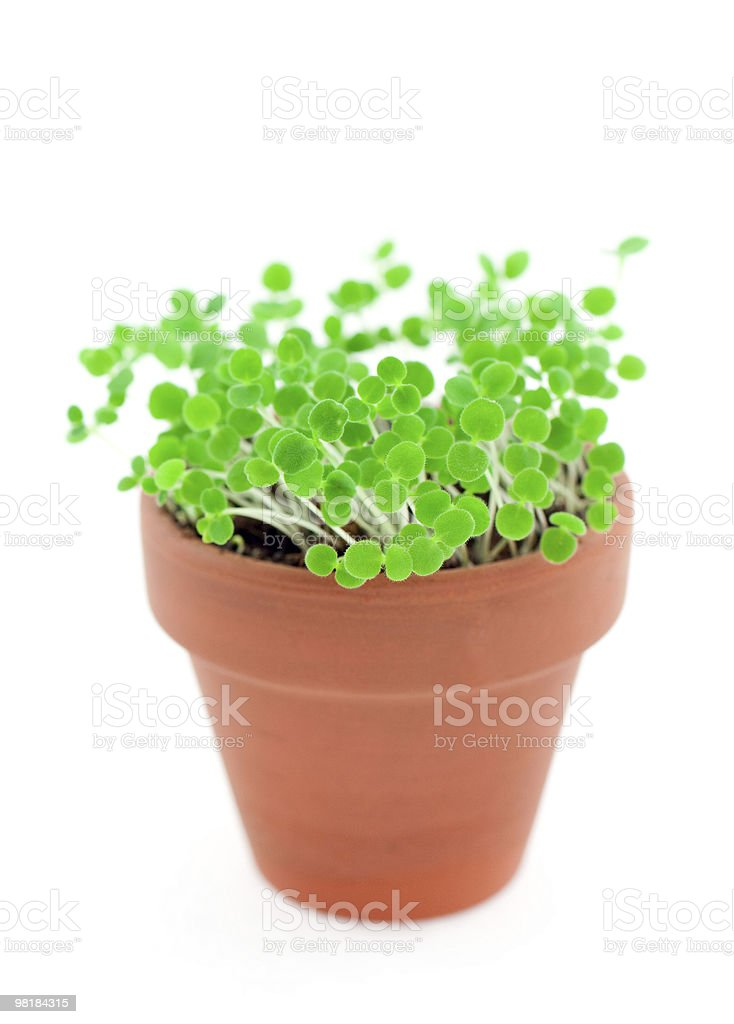 green sprouts in pot. Isolated on white royalty-free stock photo