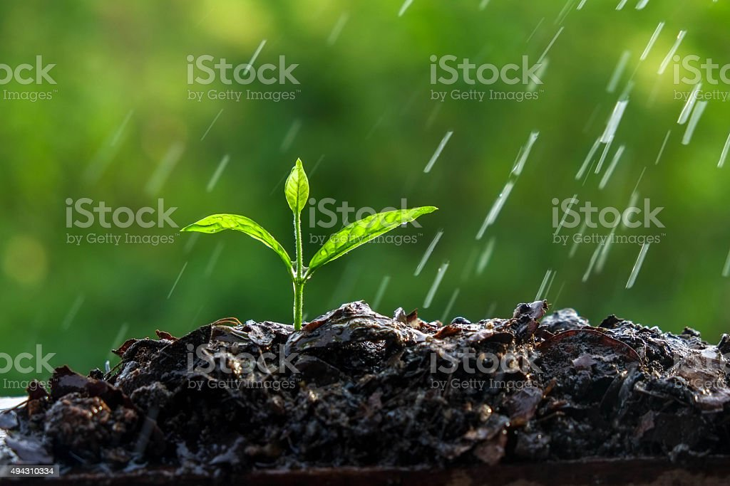Green sprouts in the rain stock photo