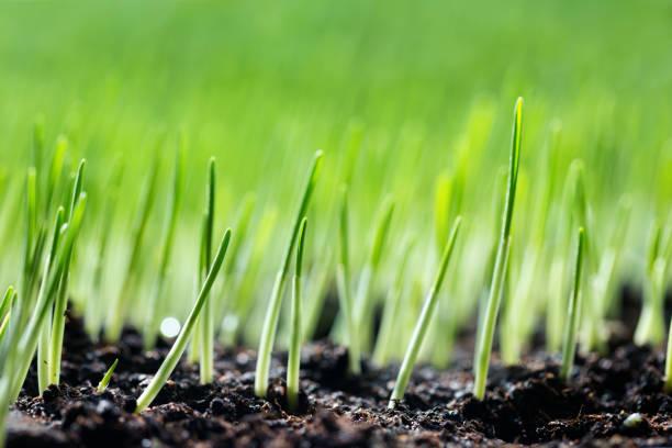 brotos verdes - gramado terra cultivada - fotografias e filmes do acervo