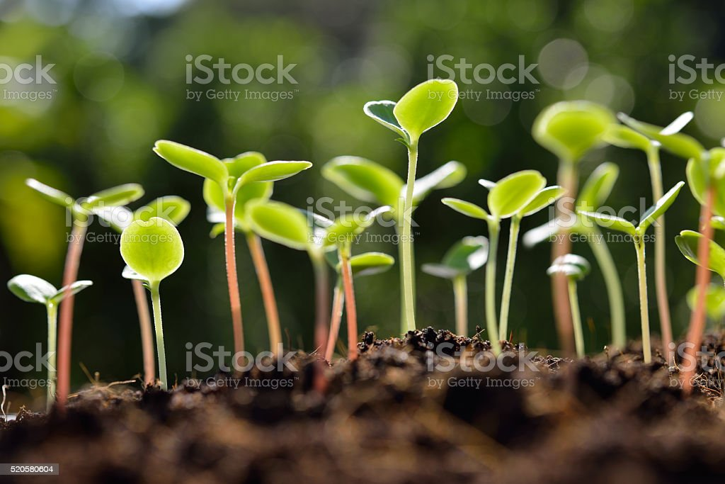 Green sprouts Green sprouts growing out from soil in the morning light Agriculture Stock Photo