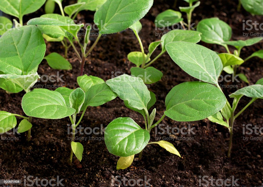 Green sprouts seedlings stock photo
