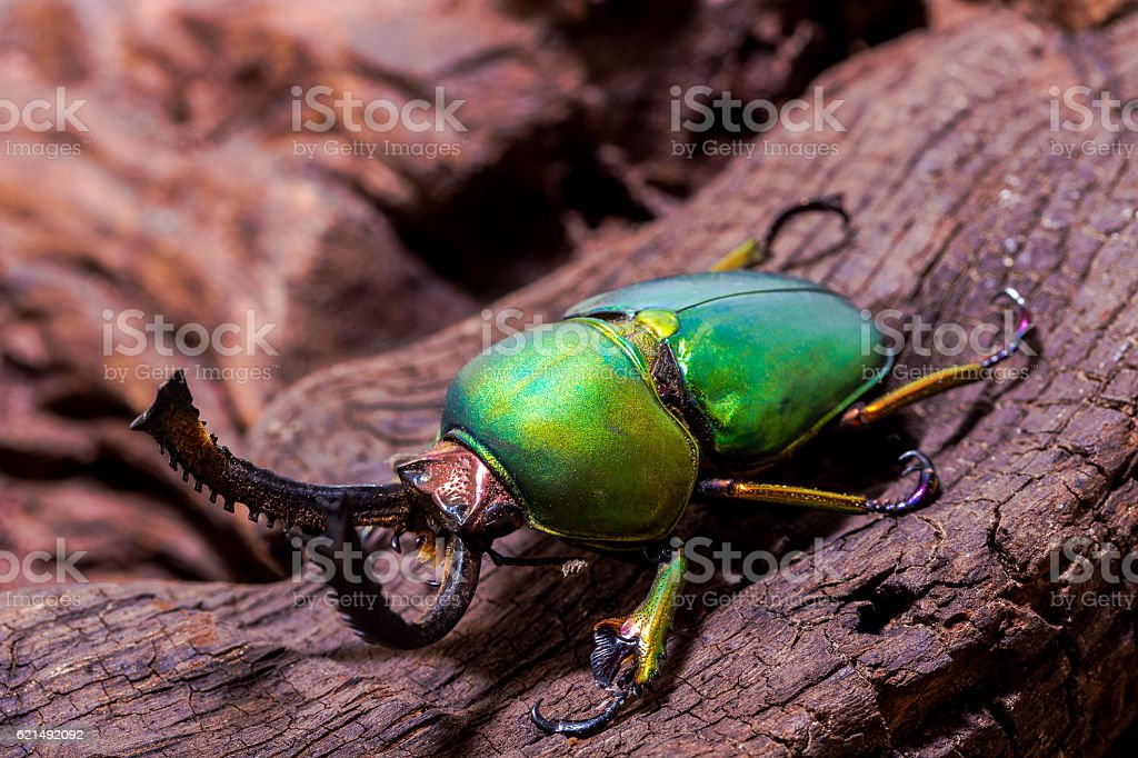 Green Stag Beetle (Lamprima adolphinae) photo libre de droits