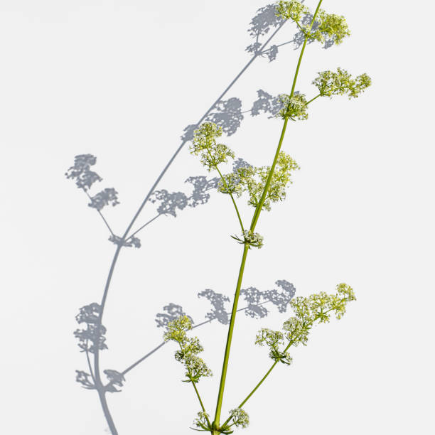 Green stalk of a Galium album with small white flowers casts a shadow on a light background stock photo