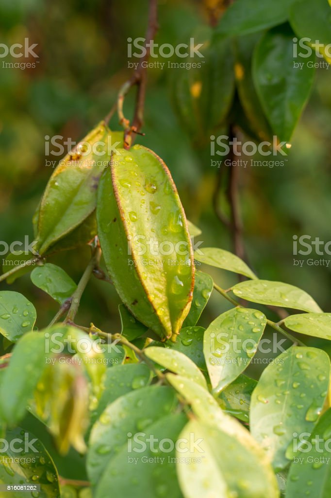 Green Star apple on plant. stock photo