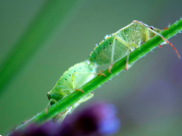 Green Stink Bugs Mating