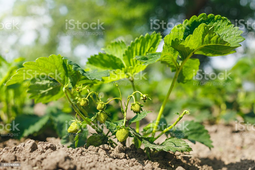green strawberries on the Bush stock photo