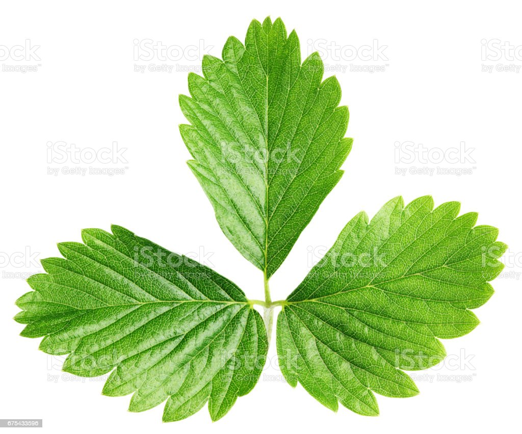 Green strawberry leaf isolated on white photo libre de droits