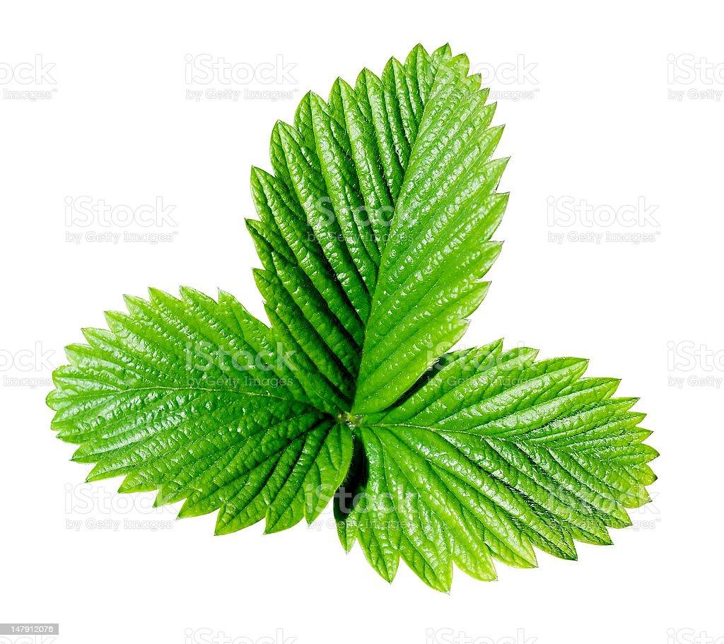 Green strawberry leaf. royalty-free stock photo
