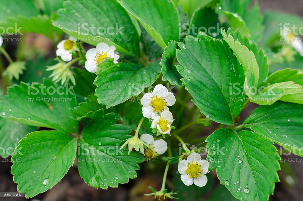 Green Strawberry leaves with flowers background royalty-free stock photo