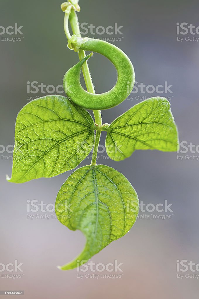 Green string beans royalty-free stock photo