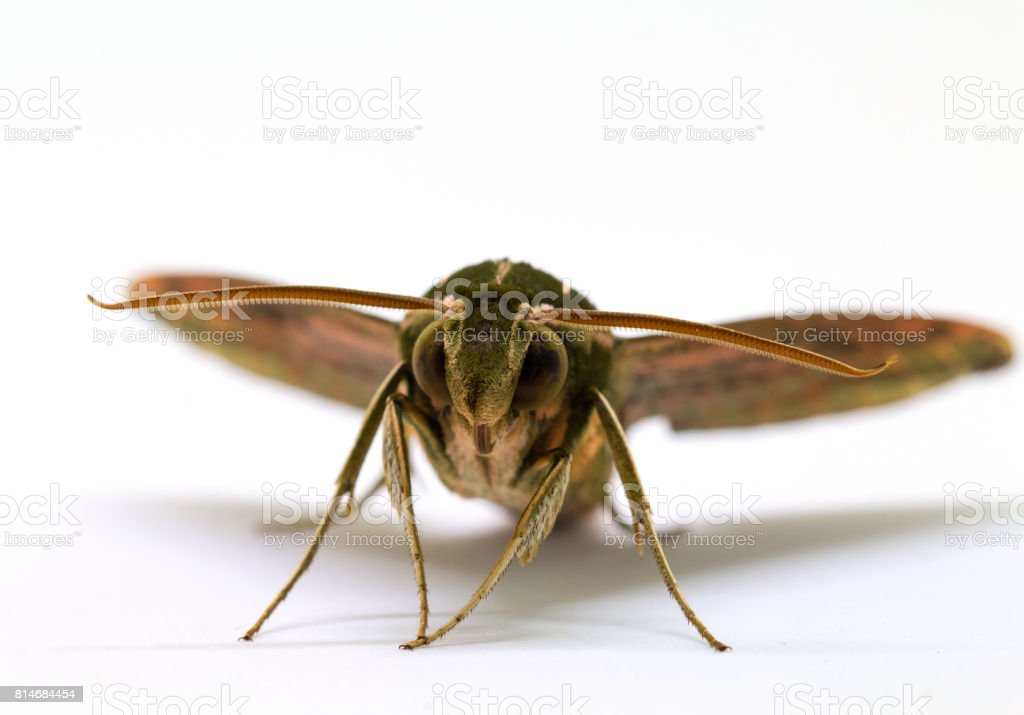 Green striped hawk moth with open wings macro photo. Adult Sphingidae butterfly studio shot. stock photo