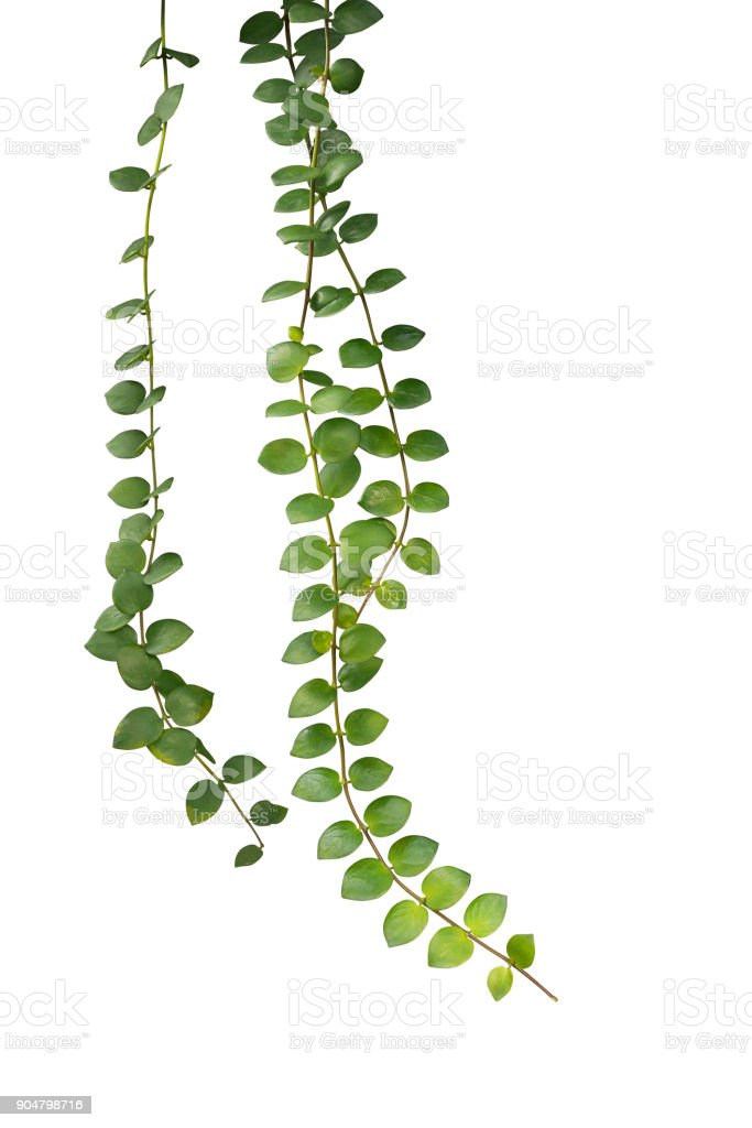 Green succulent leaves hanging climber plant (Dischidia sp.) isolated on white background, clipping path included. stock photo