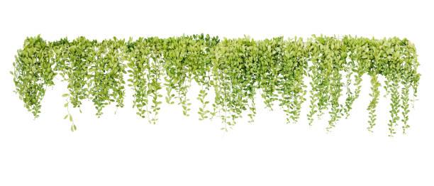 grön saftiga löv hängande vinstockar ivy bush klättring epifytic växt (dischidia sp.) efter regn i tropisk regnskog trädgård isolerad på vit bakgrund, natur bakgrund med urklippsbana. - slingerväxt bildbanksfoton och bilder