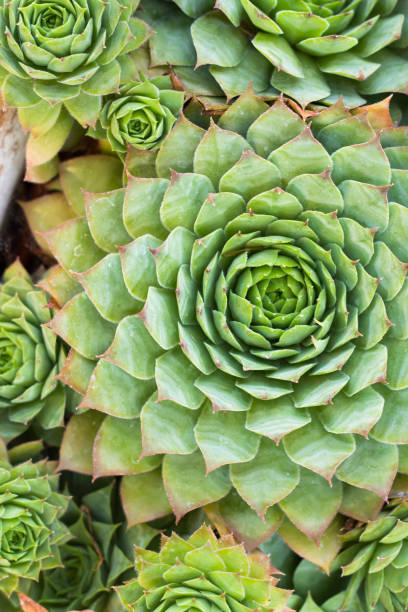 grüne sukkulente hintergrund. natürliche abstrakte muster. garten laub - dachwurz stock-fotos und bilder