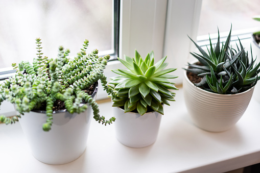 green succulent plants in white flower pots on white background near the window.