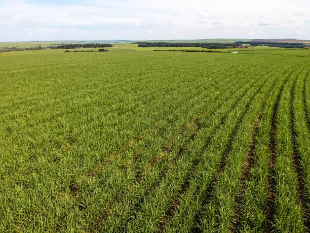 Green sugar cane field on Sao Paulo state, Brazil stock photo