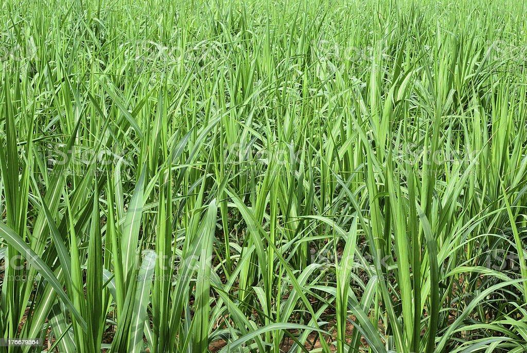 Green sugar cane field royalty-free stock photo