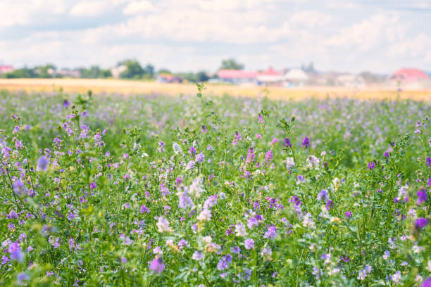 Green summer agricultural field with blossoming alfalfa, or lucerne blue flowers, rural landscape Green summer agricultural field with blossoming alfalfa (medicago sativa) or lucerne blue flowers, bright daytime rural landscape foraging stock pictures, royalty-free photos & images
