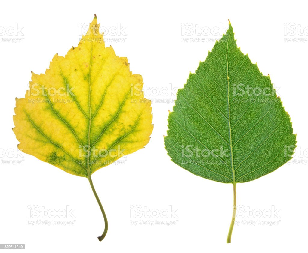 Green summer and yellow autumn leaf of birch isolated on white background stock photo