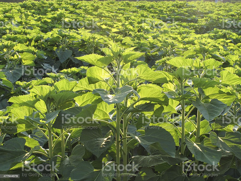Green sunflower field without flower stock photo