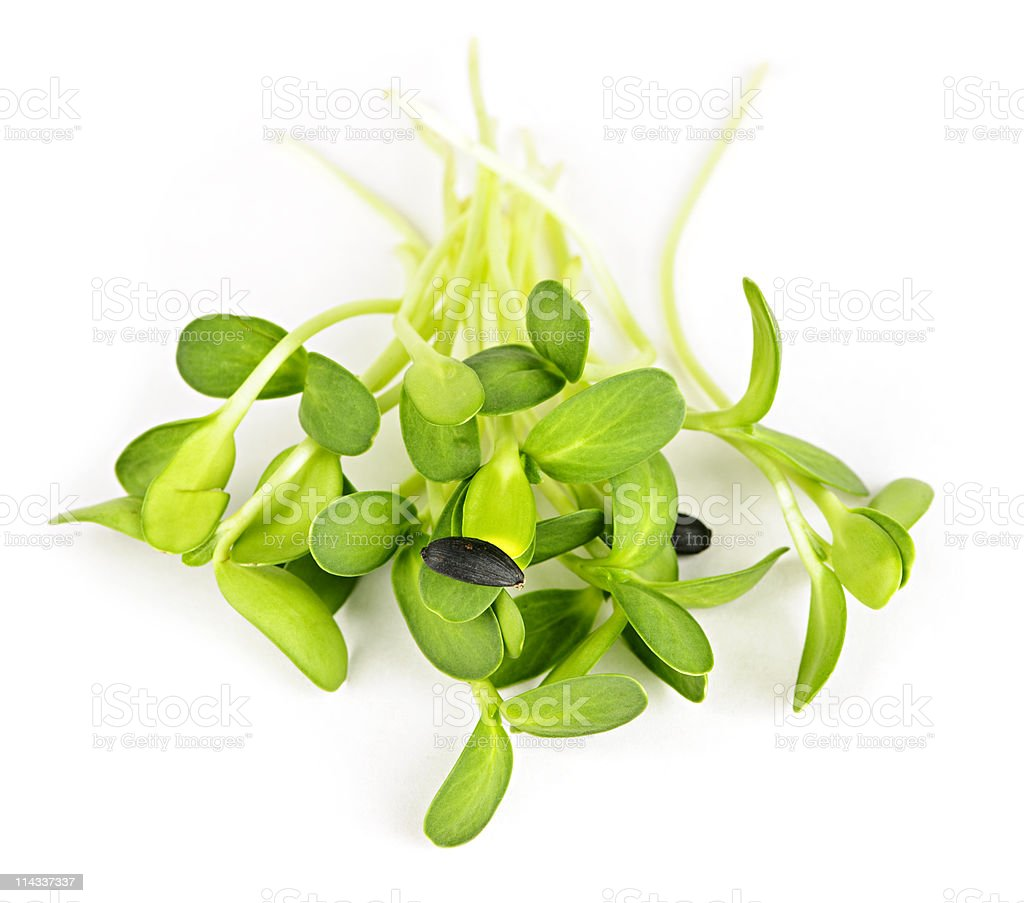 Green sunflower sprouts royalty-free stock photo
