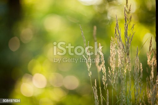 Selective focus of green grasses backlit by the afternoon sun. Green defocused background with copy space and seeding grasses in the foreground.