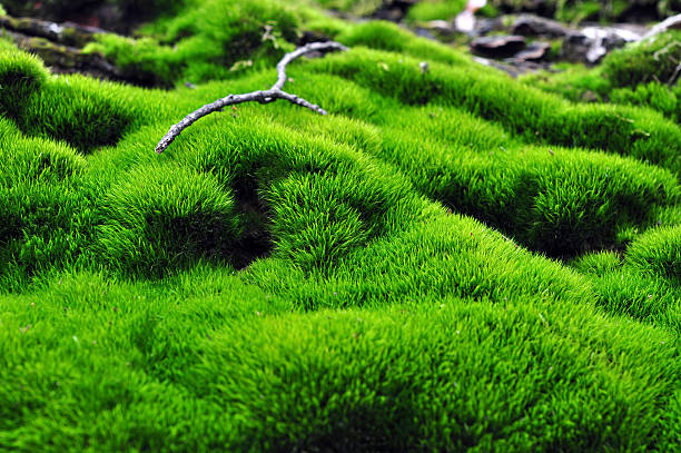 Green surface of moss stock photo