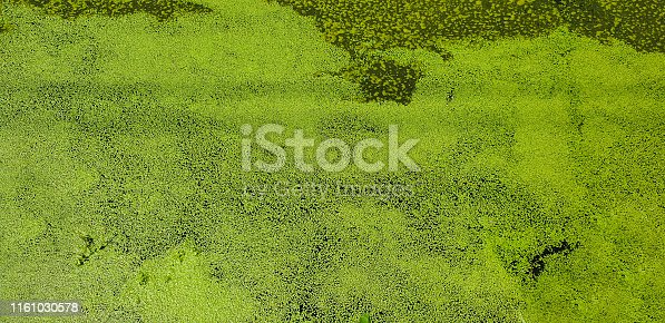 Green blooming swamp, floating algae on the surface.