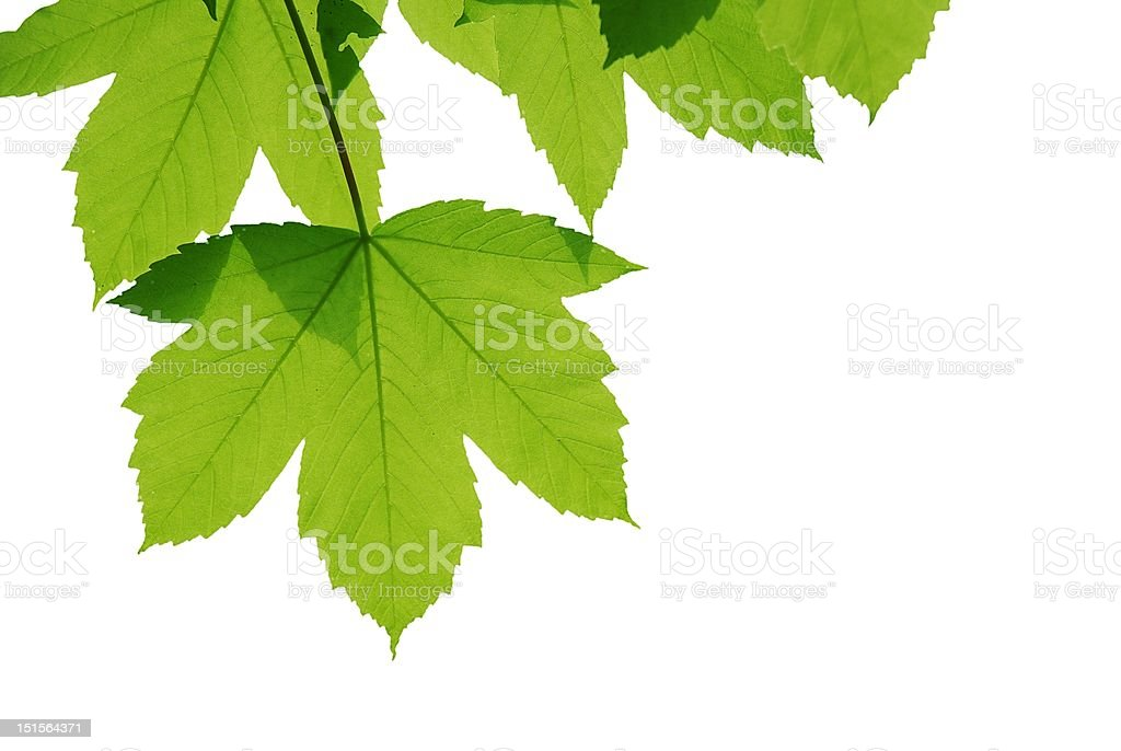 Green sycamore leaves stock photo