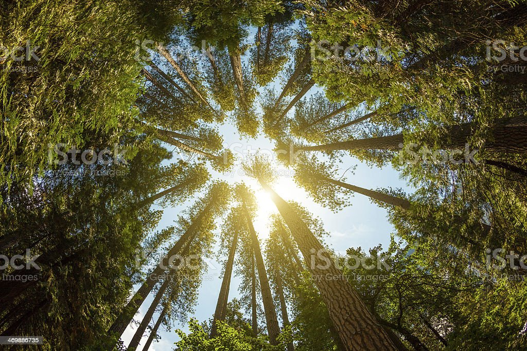 Green Tall Forest and Sun Throught the Leaves stock photo