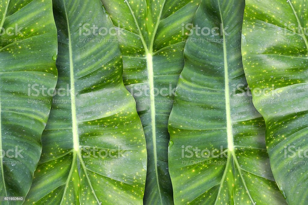 green taro leaves pattern background stock photo