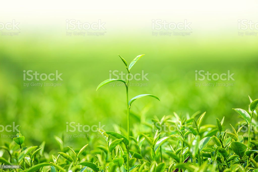 Green tea bud and fresh leaves stock photo