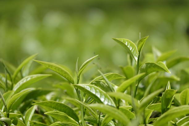 green tea buds and leafs in highland