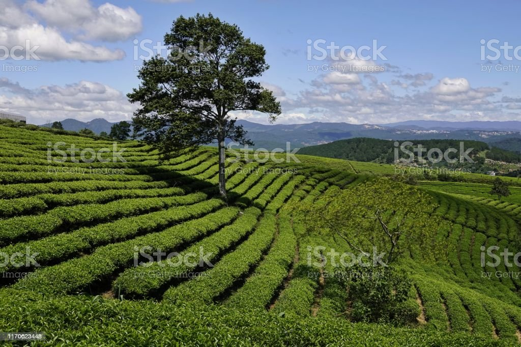 green tea farm in highland fresh green tea farm hill landscape in highland Agriculture Stock Photo