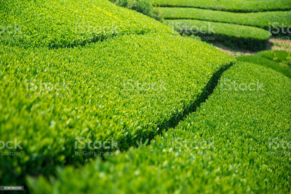 Green Tea Farm stock photo