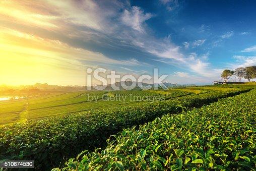 istock Green tea field in morning 510674530