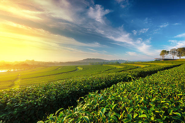 Green tea field in morning Green tea field in morning tea crop stock pictures, royalty-free photos & images