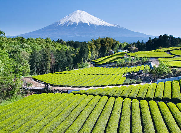 Green tea Fields IV stock photo