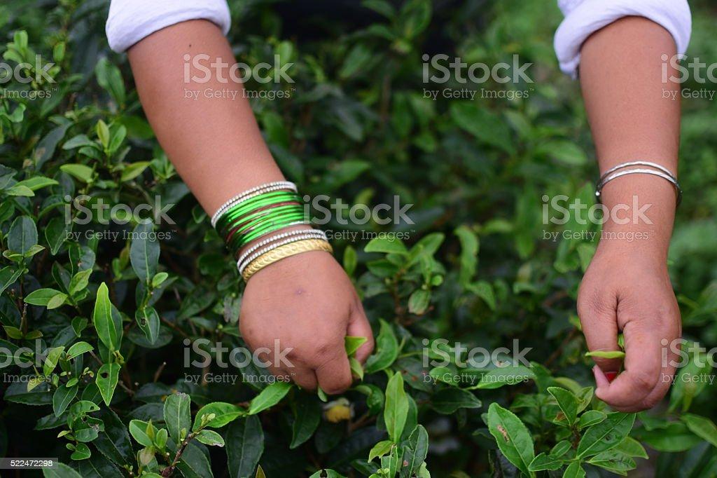 Green Tea Harvest Time. stock photo