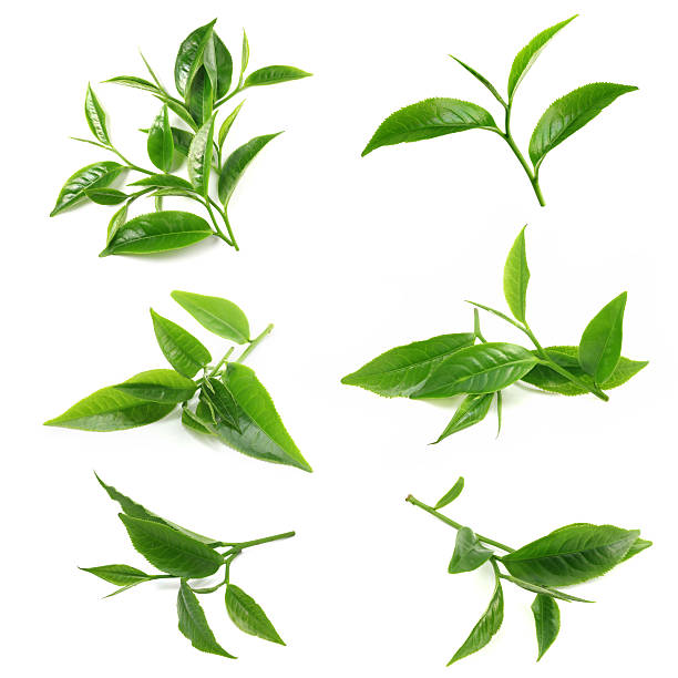 Royalty Free Green Tea Leaf Pictures, Images and Stock ...