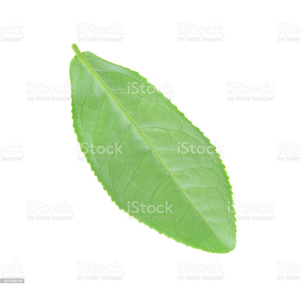 Green tea leaf isolated on white background royalty-free stock photo